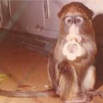 """The De Brazza's Monkey """"Suck-a-Toe"""""""